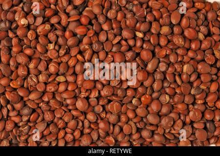 Ziziphus (Ziziphus spinosa), semillas, hierbas utilizadas en la medicina tradicional china