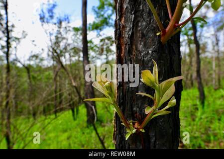 Eucaliptos reshooting de troncos cubiertos de ceniza ennegrecido tras dichas quemas, Mia Mia State Forest, Queensland, Australia