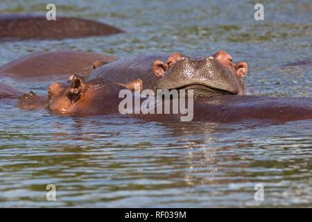 Una manada de hipopótamos tumbarse al sol en el río Nilo, el Parque Nacional de Murchison Falls, Uganda.