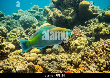 Los peces nadan en el Mar Rojo, peces coloridos, Eilat, Israel Foto de stock