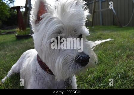 Foto de West Highland Terrier, enmarcado en la delantera. Foto de stock
