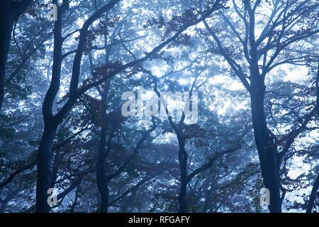 Misterioso bosque neblinoso paisaje al amanecer, Witten, área de Ruhr, Renania del Norte-Westfalia, Alemania