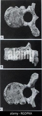 . Boletín del Museo Histort Natural. Geología series. S.E. CHURCHILL Y T.W. HOLLIDAY lamina con la faceta articular inferior, apófisis proceso (con la posterior falta de tubérculo) y la lámina del lado derecho con el proceso transversal y facetas articulares superior e inferior. Vértebra Vértebra torácica 4 Esto está completo, salvo por la mitad posterior del proceso espinoso y el lado izquierdo el proceso transversal (Fig. 2). Las superficies superior e inferior del cuerpo están oscurecidos por material reconstructivo. La supero-dorsal y ventral a alturas inferiores del cuerpo son iguales en este ve