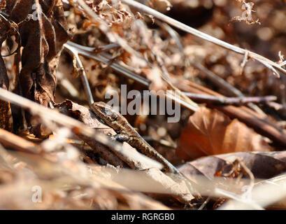 Lagarto común Elfringhausen, Renania del Norte-Westfalia, Alemania, Europa, Lacerta vivipara