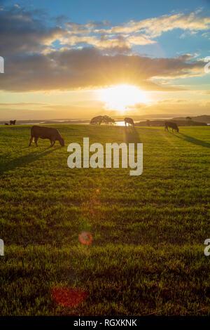El pastoreo de ganado en un campo al atardecer, el condado de Sligo, Irlanda.