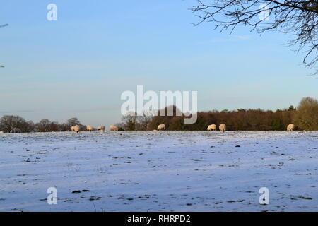 Hermoso invierno suave luz cae sobre las ovejas que pastan en los campos alto en las llanuras del norte, en la cumbre de Fackenden abajo, Shoreham, Kent, Inglaterra