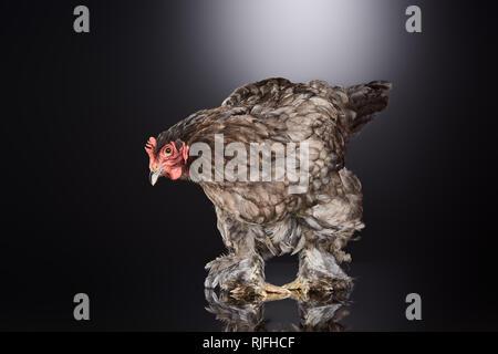Brown gallina de granja de pie en gris oscuro