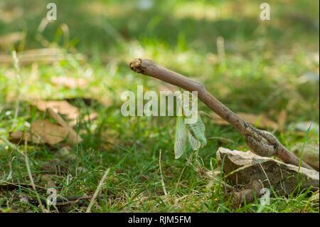 ( Cidada Cicada orni ) surgiendo en verano en la isla de Cres Croacia