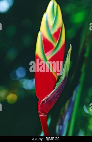 Heliconia rostrata, Hawai jardines botánicos tropicales,Hawaii Foto de stock