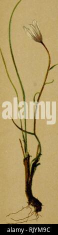 . Atlas de la flora alpina. Las plantas; plantas de montaña. . Por favor tenga en cuenta que estas imágenes son extraídas de la página escaneada imágenes que podrían haber sido mejoradas digitalmente para mejorar la legibilidad, la coloración y el aspecto de estas ilustraciones pueden no parecerse perfectamente a la obra original. Correvon, Henry, 1854-1939; Club Alpin allemand et autrichien. Genève, Georg &Amp; Co.