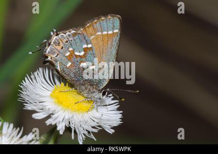Juniper, Callophrys Hairstreak nectaring gryneus, desde fleabane, Erigeron sp.