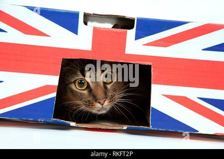 Cute wide-eyed parte abisinio macho joven gato juega en una caja de cartón marcada Union Jack.