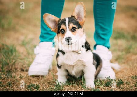 Joven cachorro Welsh Corgi perro en hierba seca al aire libre. El Welsh Corgi es un tipo pequeño de perro de pastoreo que se originó en Gales.