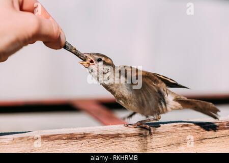 Alimentación de la joven chica, pájaro Gorrión Yellow-Beaked Passer domesticus.