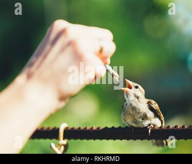 Pájaro joven acurrucada Gorrión Pollito bebé Yellow-Beaked Passer domesticus) sentados en la valla.