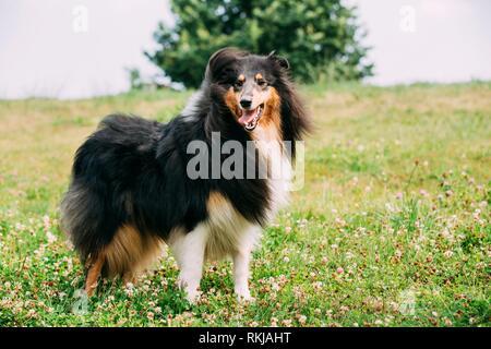 Tricolor, Rough Collie Collie Collie Long-Haired escocés, Inglés, Collie, Lassie perro adulto mantenerse sobre la hierba verde.
