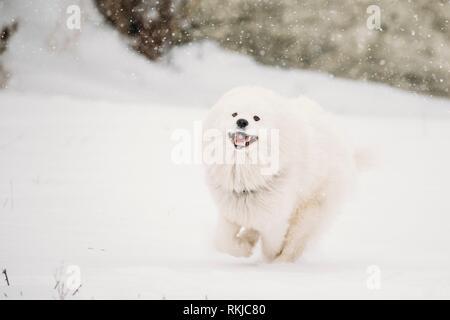 Gracioso perro samoyedo blanco joven (Bjelkier, sonriente, Sammy) jugando rápido corriendo al aire libre en la nieve, la temporada de invierno. Juguetona mascota afuera.