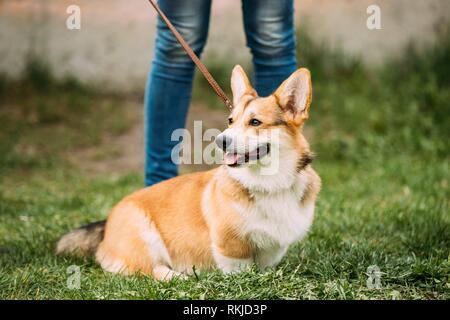 Rojo Pembroke Welsh Corgi perro sentado en la hierba.