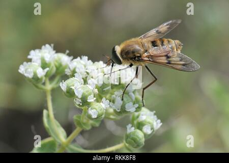 Un néctar estrictamente materna especies de mosca (Caballo Pangonius pyritosus) con una muy larga probóscide forrajeando en orégano (Origanum onites cretense) flores,