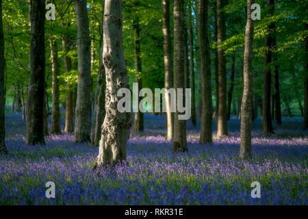 El piso del bosque cubierto con blooming campanillas en Tollymore Park, Irlanda del Norte.