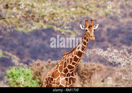 Jirafa reticulada {Giraffa camelopardalis reticulata} de cabeza y cuello, la Reserva Nacional de Samburu, Kenia, África.