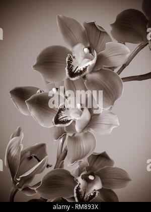 Cymbidium flores orquídeas frescas Foto de stock