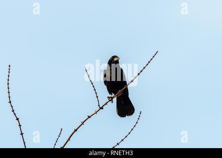 Una carroña corneja (Corvus corone) sentado en una pequeña sucursal en invierno, blue sky (Viena, Austria)