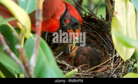 Un hombre cardenal alimenta a sus bebés de dos días de edad un gusano verde mientras está parado en el Nido de Aves Foto de stock