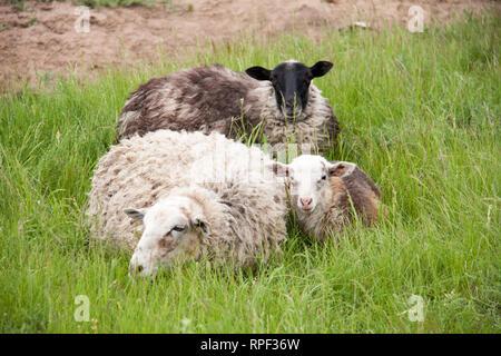 Tres ovejas descansando sobre la hierba verde en primavera