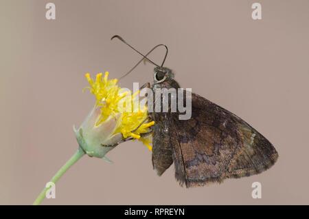 Norte, Thorybes pylades Cloudywing, macho nectaring sobre Sweetbush, Bebbia juncea Foto de stock