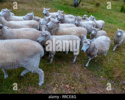 Pastor ovejero y pastoreando ovejas. Fotografiado cerca de Christchurch, Nueva Zelanda
