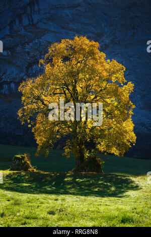 La botánica, Celta maple, Acer pseudoplatanus, Suiza, Additional-Rights-Clearance-Info-Not-Available