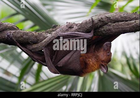 Gran flying fox malaya close-up retrato colgado boca abajo. Pteropus