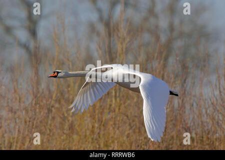 Cisne en vuelo (Cygnus olor)