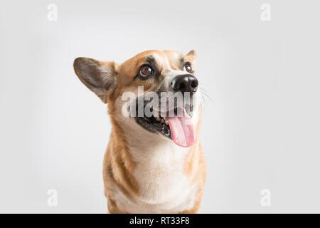 Welsh Corgi Pembroke perro fuera la lengua sobre blanco