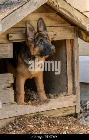 Issaquah, Washington, EE.UU. Cuatro meses de edad Cachorro Pastor Alemán 'Lander' en busca de su perrera