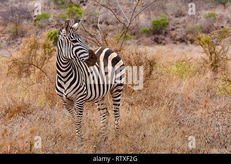 Zebra se encuentra en una sabana en el Parque Nacional Tsavo en Kenia - África