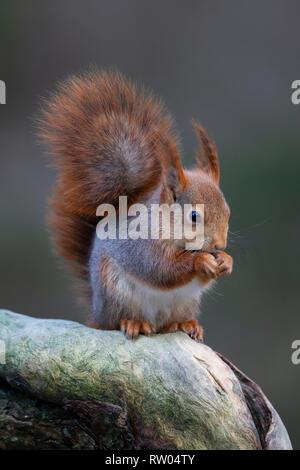 Ardilla roja o rojo Euroasiática ardilla Sciurus vulgaris con un abrigo largo y orejas prominentes tufts comer sentados en la extremidad de un árbol
