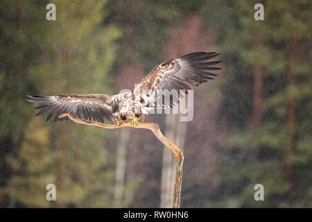 Águilas de cola blanca disparó desde un ocultar a mediados de Suecia