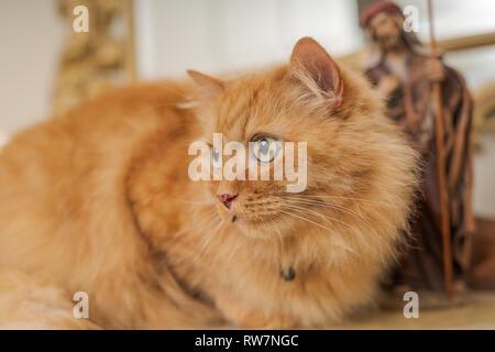 Jengibre hermoso pelo largo gato sentado en la mesa en casa