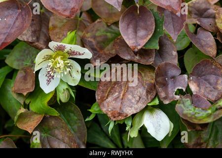 Cierre de un moteado blanco Helleborus peeping mediante hojas marrones en un jardín inglés