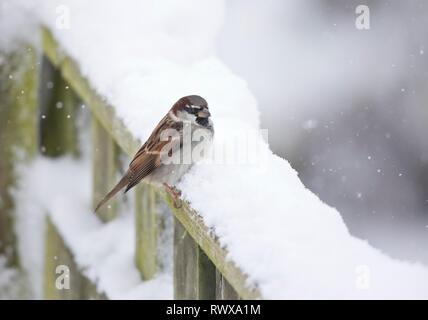 Gorrión,Passer cuidadora, en una valla cubiertos de nieve en Gales, Reino Unido
