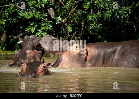 Hipopótamos, Hippopotamus amphibius) en el río Nilo, el Parque Nacional de Murchison Falls, Uganda