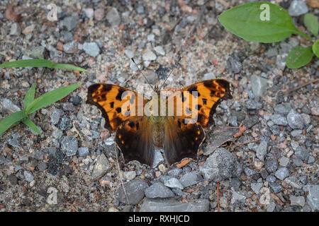 Signo de Interrogación (Polygonia interrogationis) butterfly, Trent Lagos, Ontario, Canadá Foto de stock