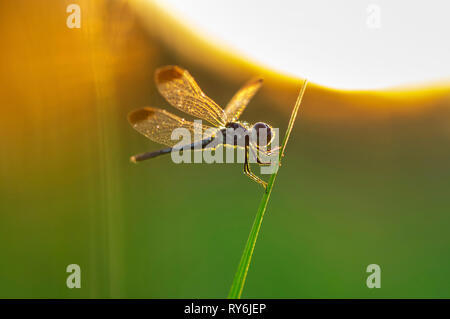Close-up de dragonfly donde se posan sobre el tallo durante la puesta de sol