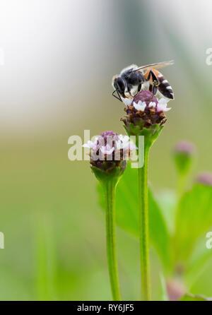 Close-up de miel de abejas polinizadoras en flor
