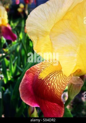 Iris barbado amarillo