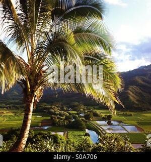 Una palmera domina el taro archivos en Princeville Kauai, Hawaii, USA.