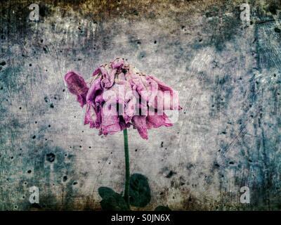 Secado de rosa Foto de stock