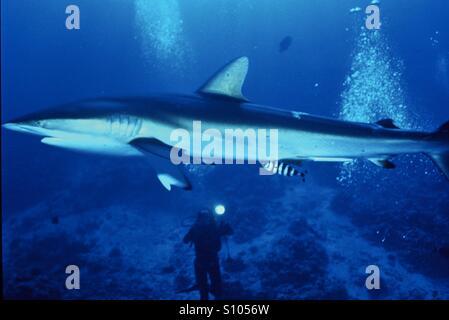 Tiburón sedoso Mar Rojo, Sudán